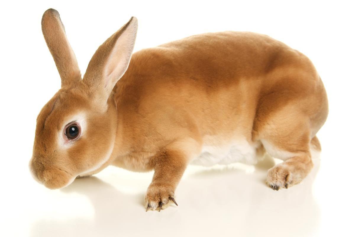 Standard Rex Rabbit Breed   Curiously Cute Facts About the Rex Rabbit Breed    Pet rabbit care, Rabbit breeds, Mini rex rabbit