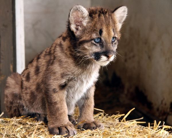 cougar photos | Cougar Cub - Animal Facts and Information