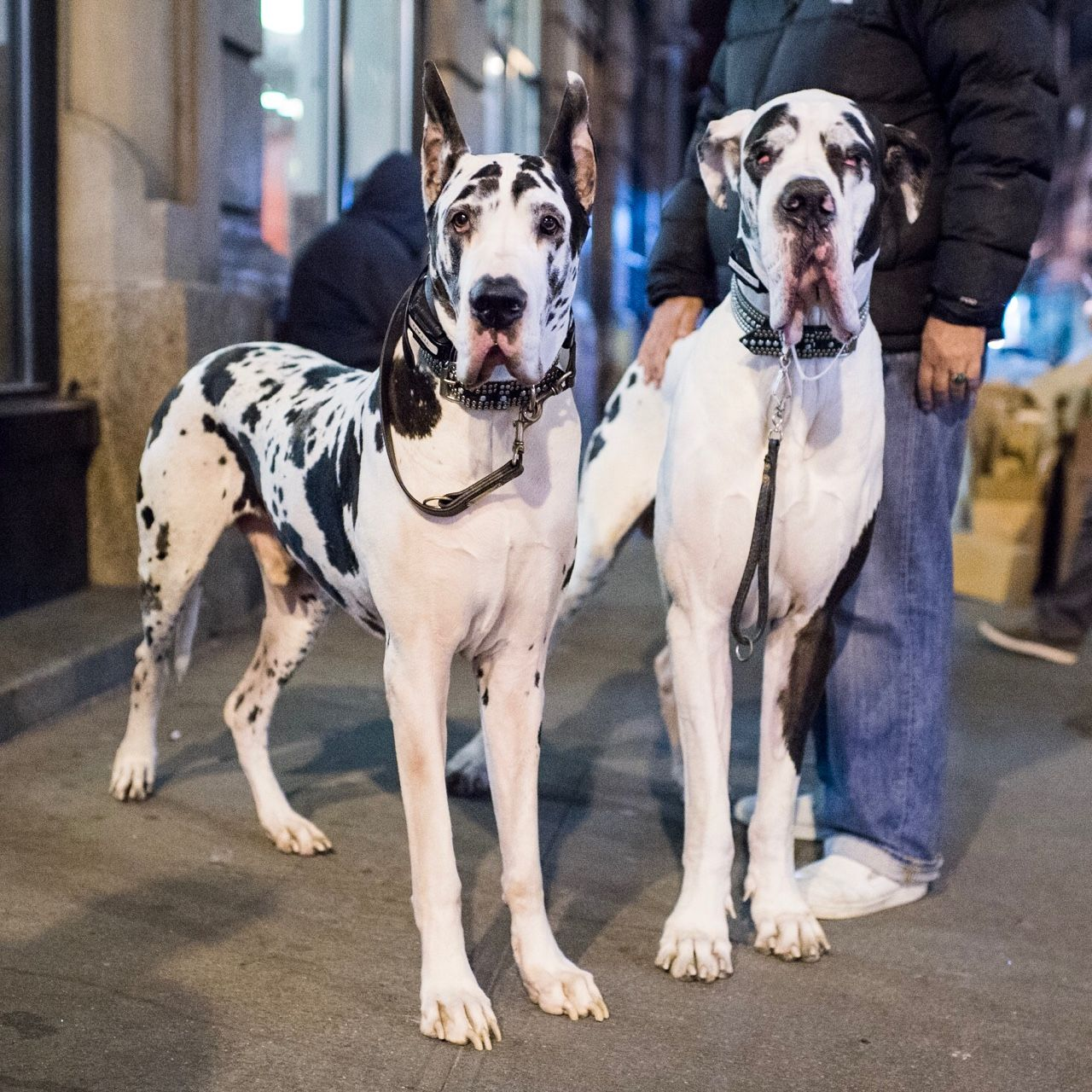 Dogs Thedogist Titan Druk Great Danes 8 3 Y O Great Dane Dogs Best Dogs