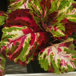 """Coleus Kong Mosaic  huge leaves are patterned with bright green cream and red shades. Each leaf is unique. Well branched plants size: grows 45-56 cm (18-22"""")tall when ground planted placement: shady boarders large containers or indoors under bright artificial light.  Exposure: that kong series or coleus prefers full shade. Soil: plant in moist well drained organically enriched soil.  Water needs: water regularly"""