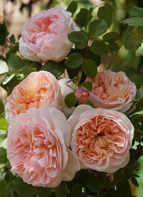 rosa 39 evelyn 39 gardens bouquets buis et inspirations pinterest rosier fleurs et roseraie. Black Bedroom Furniture Sets. Home Design Ideas