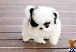 Teacup Pomeranian Puppies For Sale In Pa Quotes Pomsky Puppies Cute Animals Cute Baby Animals