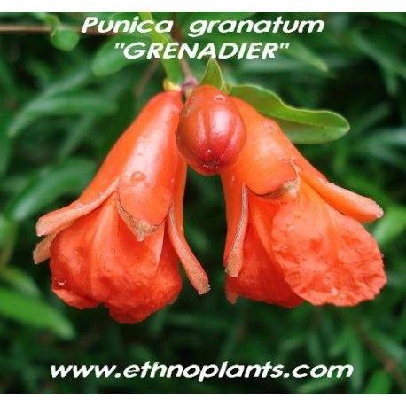 19cm t Xxl-ombre plante avec ausgefallenem Feuille Motif-Calathea roseapicta