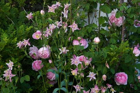 Companions Plants For Roses Let S Do Pink Rose Companion Plants Companion Planting Plants