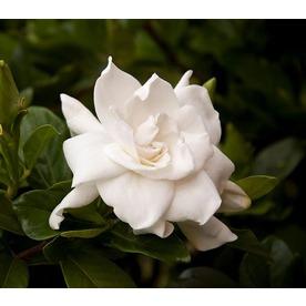 Monrovia 3 58 Gallon White August Beauty Gardenia Flowering Shrub