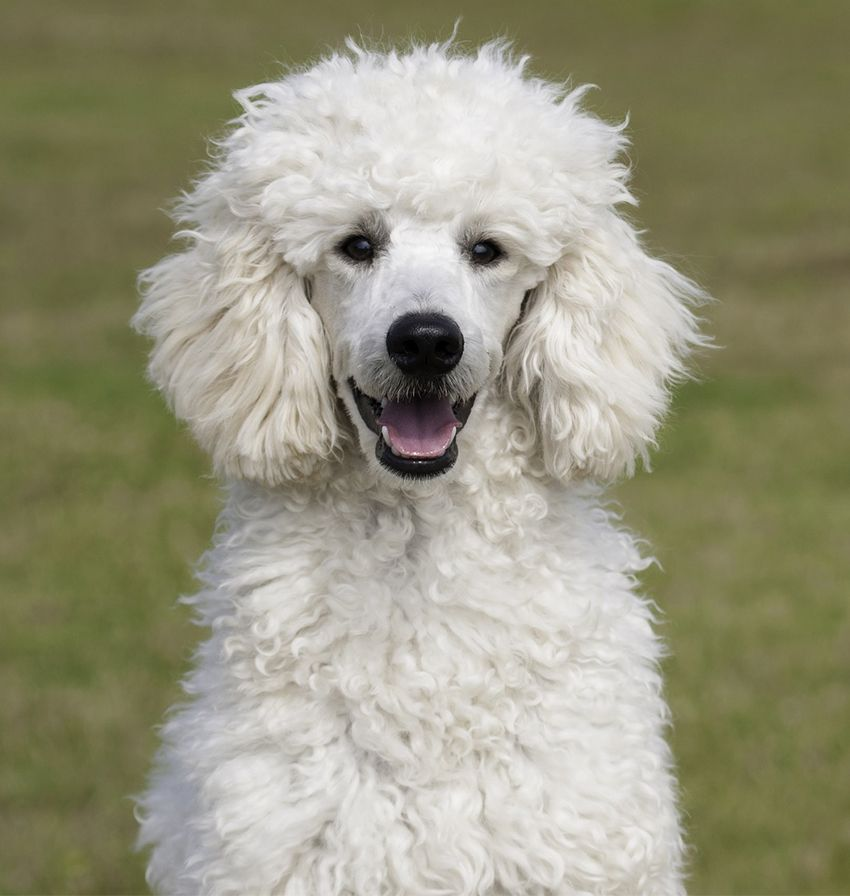Standard Poodle Dog Breed Information Center Dog Breeds Poodle