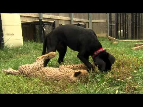 (1 month) Savanna Cheetah Cub and Puppy Max Play - Cincinnati Zoo - JURY IS OUT STILL FOR ME ON THIS ... I AM MORE THAN A LITTLE CONCERNED FOR THE DOG