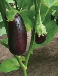 How To Grow Eggplants Healthy Food Guide Eggplant Healthy Food Guide Growing Eggplant