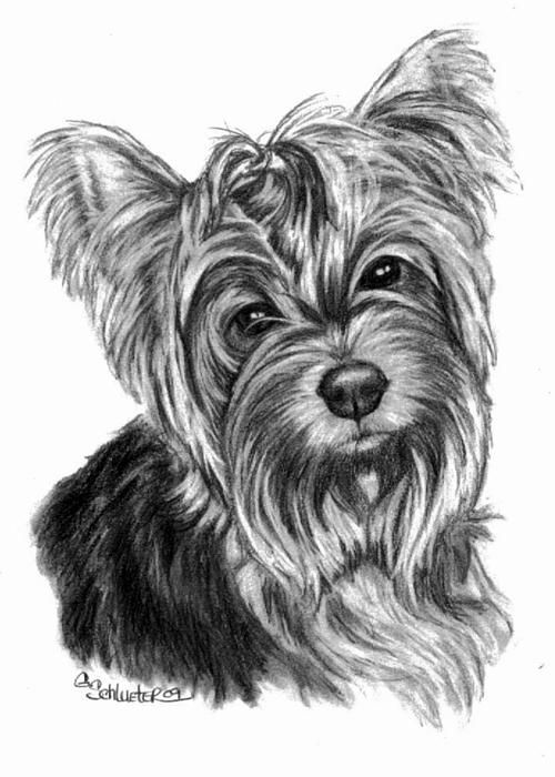 Dibujos De Yorkshire Yorkis O Yorkshire Terrier Imágenes Y