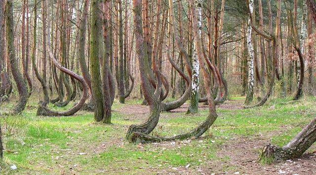 La Foresta di Alberi Curvi (Polonia) - Le Meraviglie della Natura