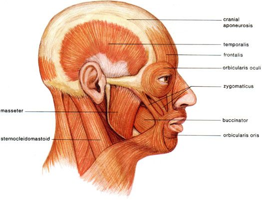 Medical transcription muscles of the head and neck muscles human brain parts diagram archives anatomy diagram pics ccuart Choice Image