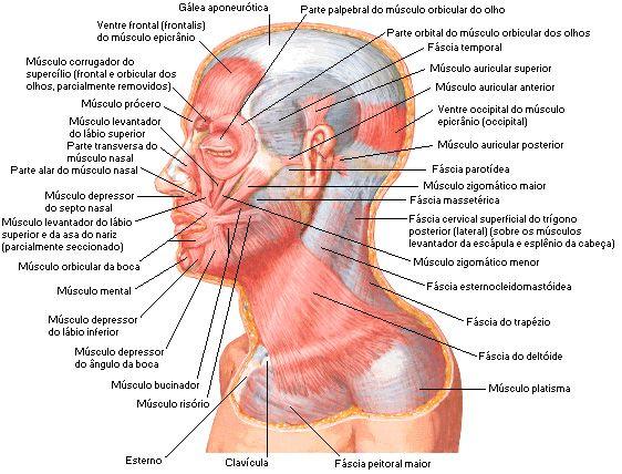 Músculos da face - Vista Lateral | Ciências | Pinterest | Músculos ...