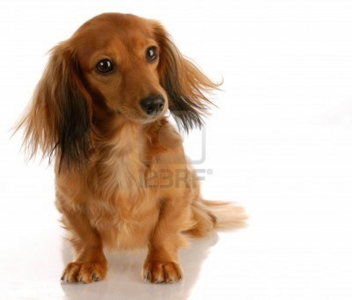 Stock Photo Long Haired Dachshund Girl Dog Long Haired