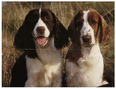 English Springer Spaniels A Tale Of Two Springers English Springer Spaniel English Springer Springer Spaniel
