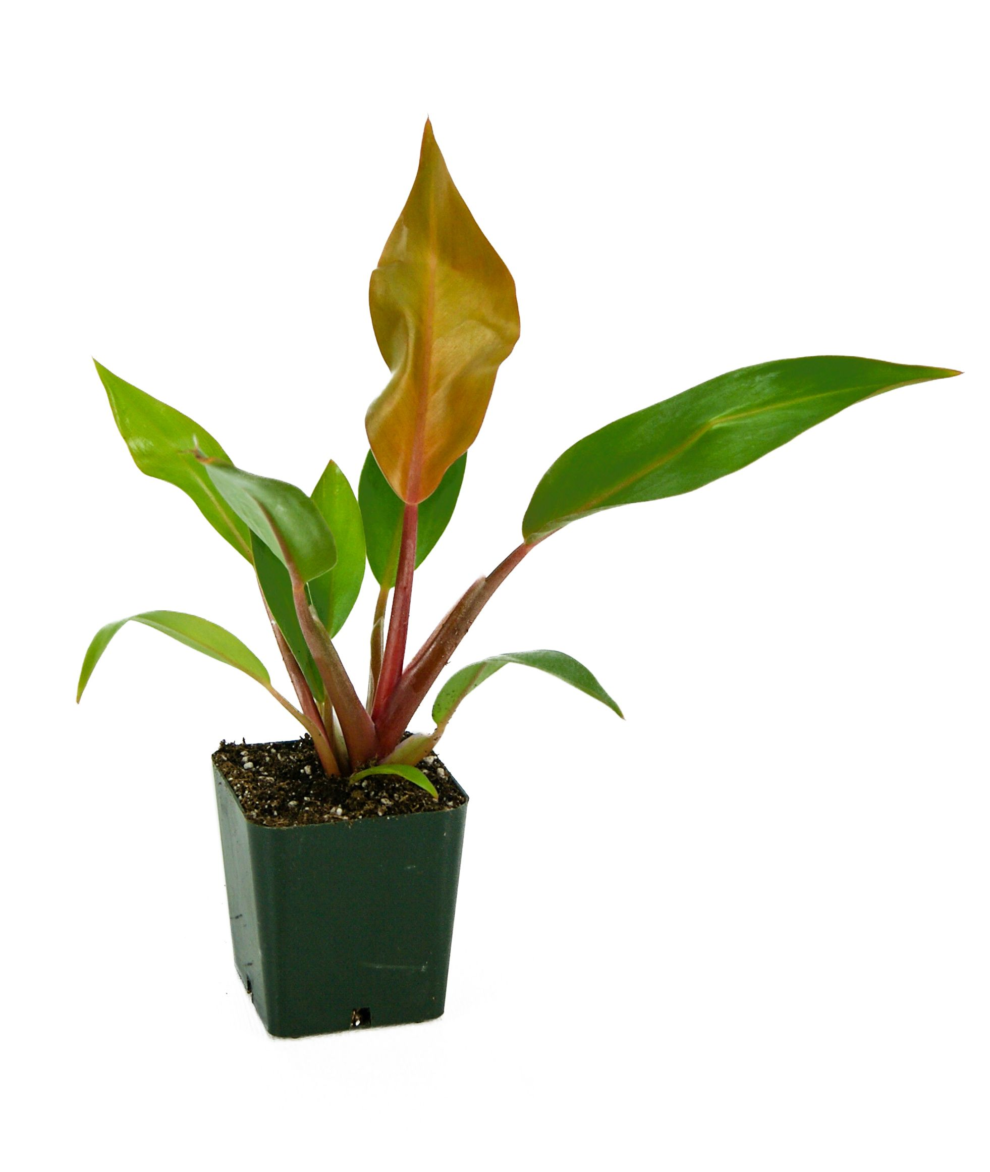Live Terrarium Plants For Sale At Josh S Frogs Are Animal Safe And