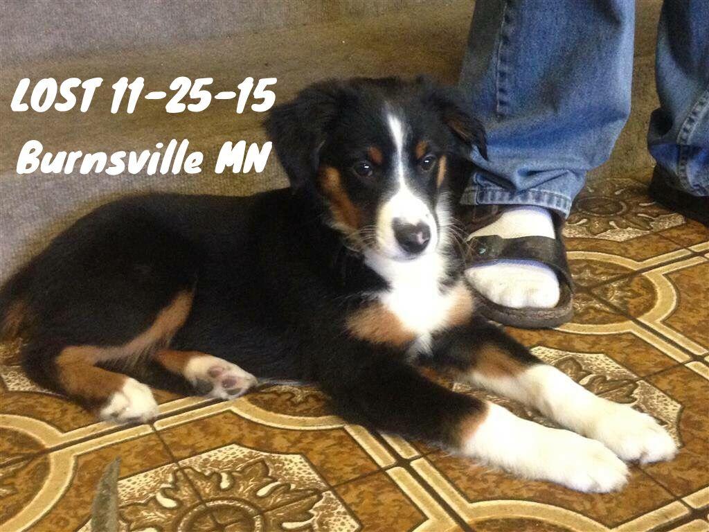 Lostdog 11 25 15 Burnsville Mn Dakotacounty Australianshepherd