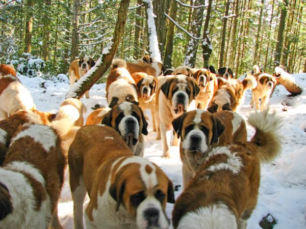 Image result for 犬 saint bernard  驚き