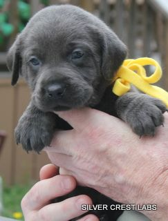 Silver Labrador This Is Where I Got My Eisenhower From Silver Crest Labs Hundebaby