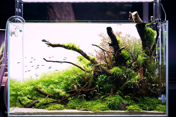 Green Aqua Aquascaping Az Instagramon Look At How This 60cm Aquascape Developed In The Past Weeks Layout By In 2020 Aquascape Design Aquarium Landscape Aquascape