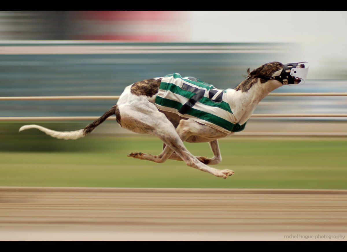 Shooting A Greyhound Race 5 Things You Ll Learn Photos Greyhounds Racing Grey Hound Dog Greyhound
