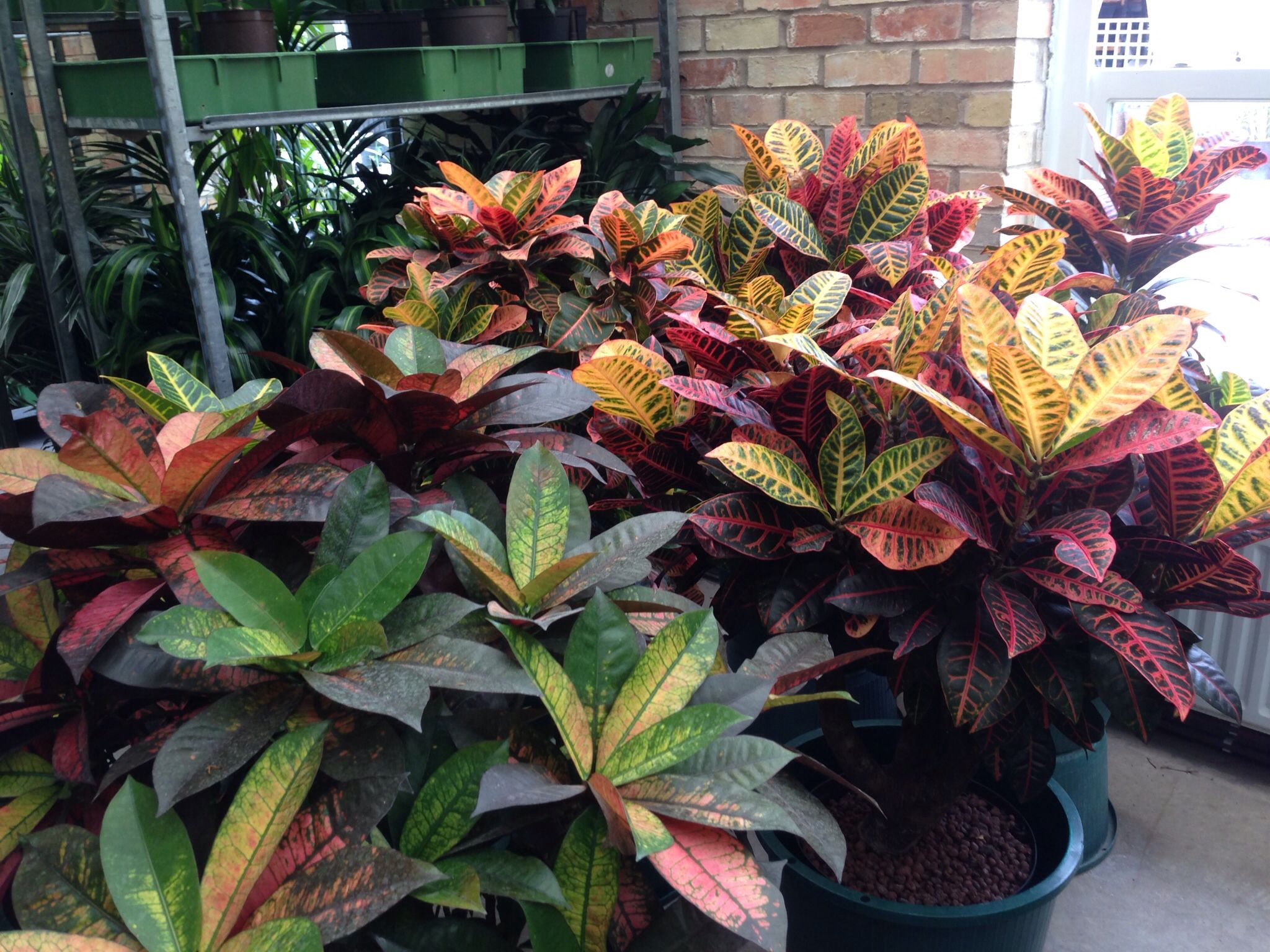 Crotons Petra And