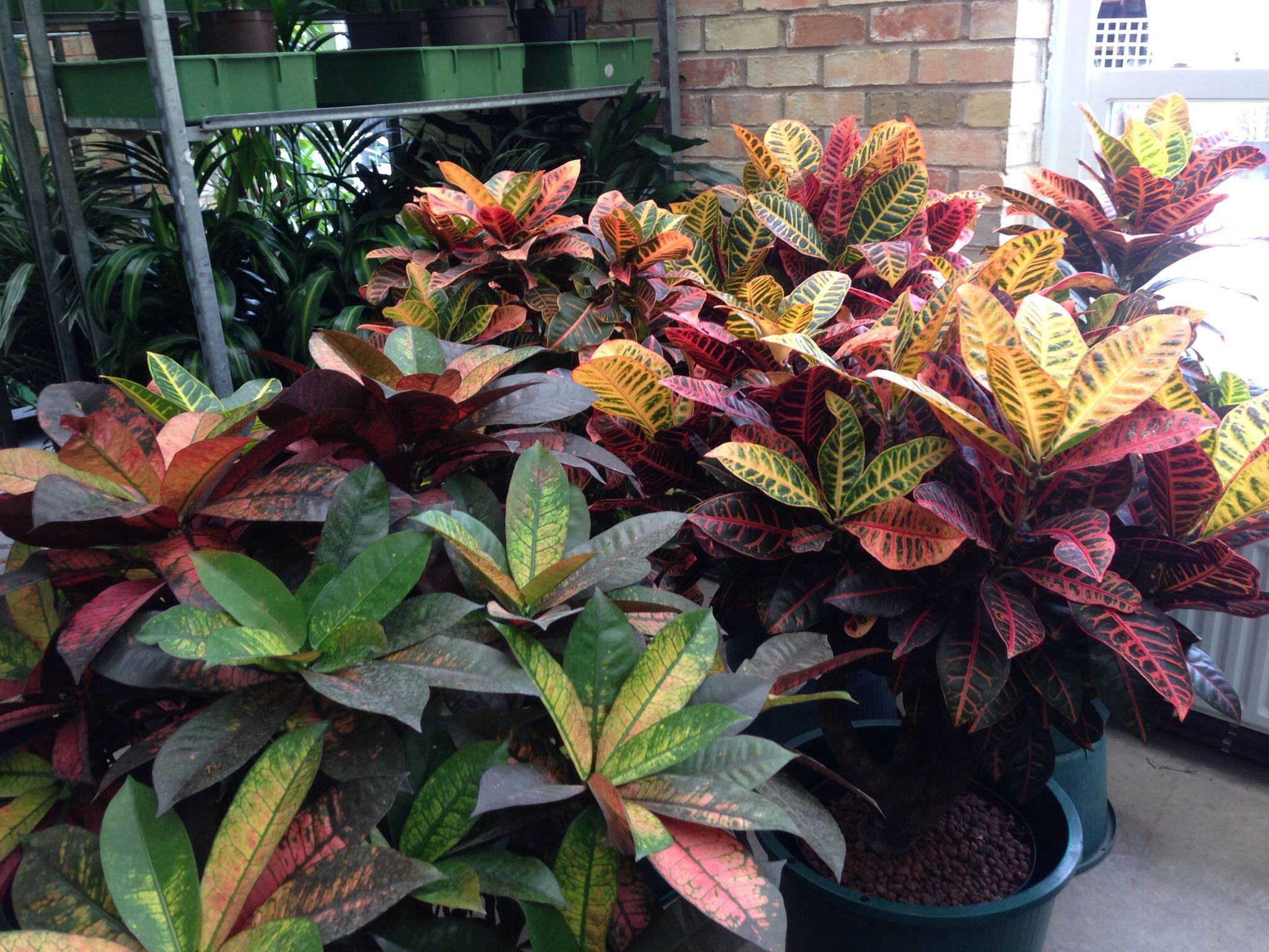 Crotons Petra And Mrs Iceton Petracambridgetropicalplantlandscaping Plants
