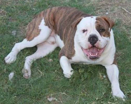 Olde English Bulldogge Learn About This Loving Breed Of Dog