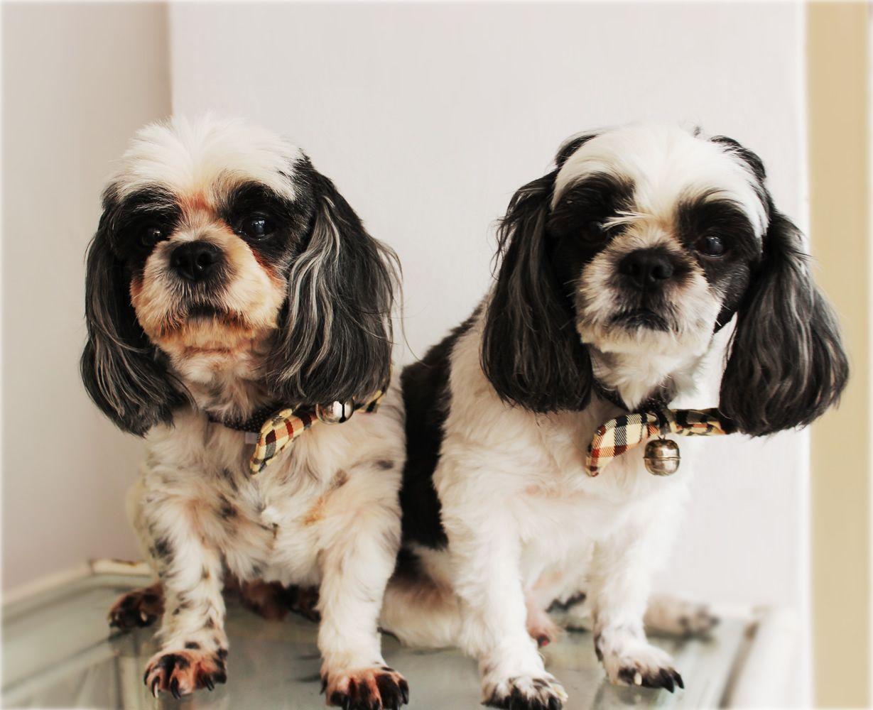 Twin Shih Tzu Pet Dog Grooming