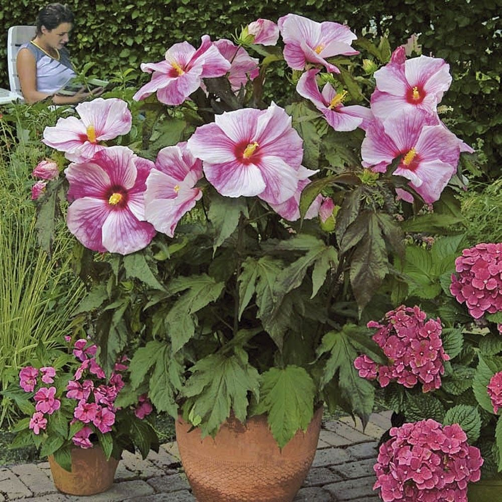 200 Pcs Giant Hibiscus Flower Seeds Mix Color Seeds Pink Creme