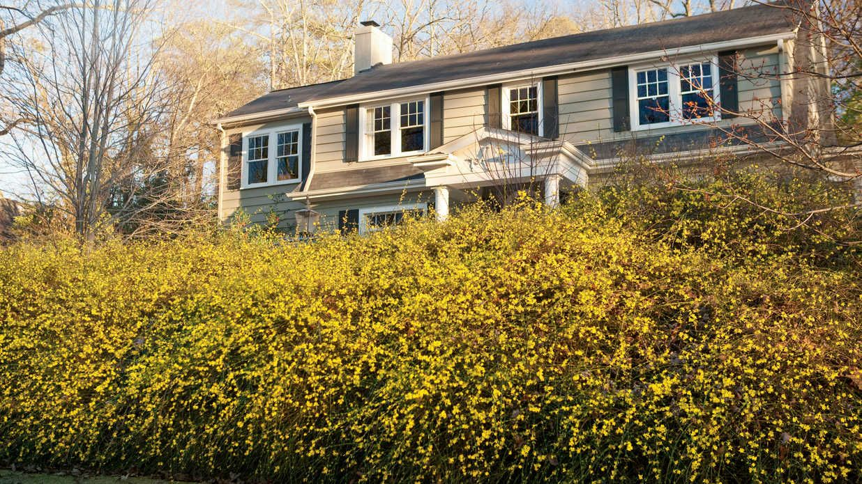 winter jasmine planting guide gardens jasmine and home