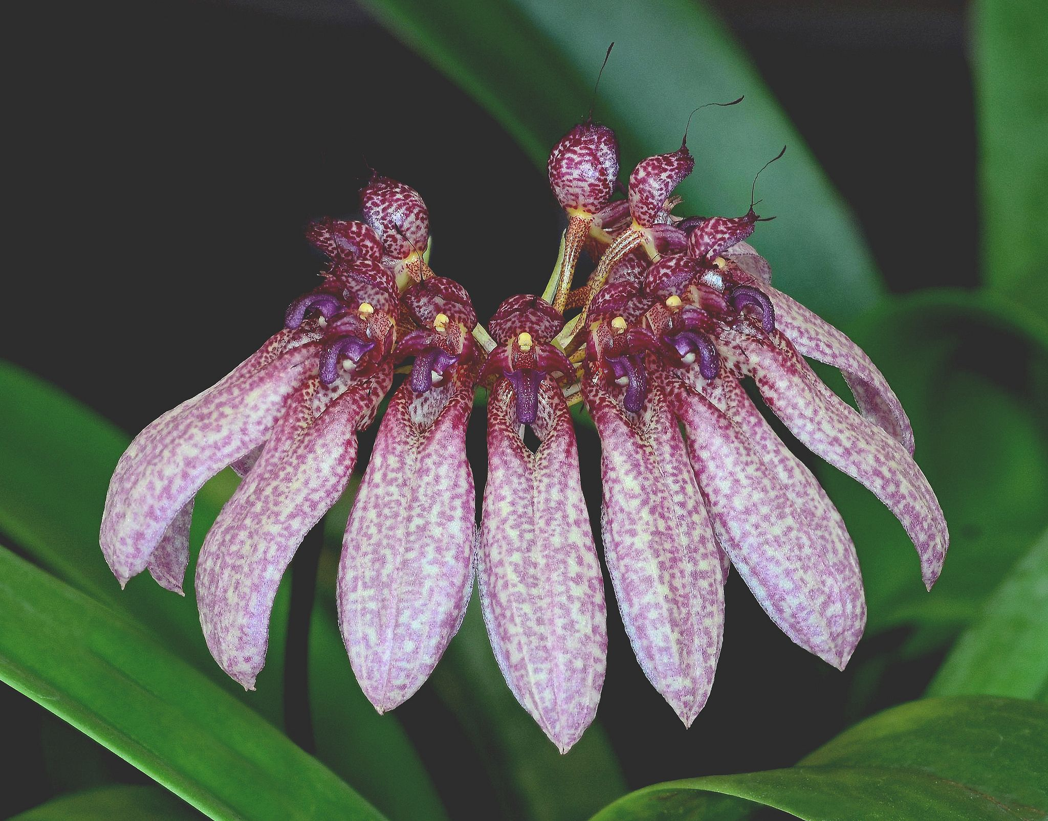 Bulbophyllum eberhardtii. Types of orchids, Orchids