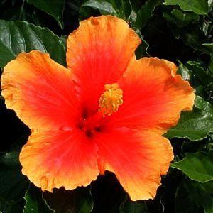 Hibiscus Hibiscus Hibiscus Rosa Sinensis Online Plant Nursery
