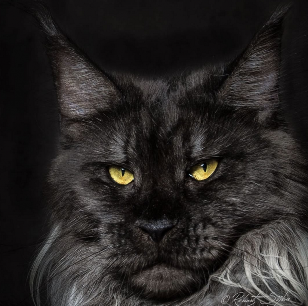 You can adopt a rescue Maine Coon  Because they are such a