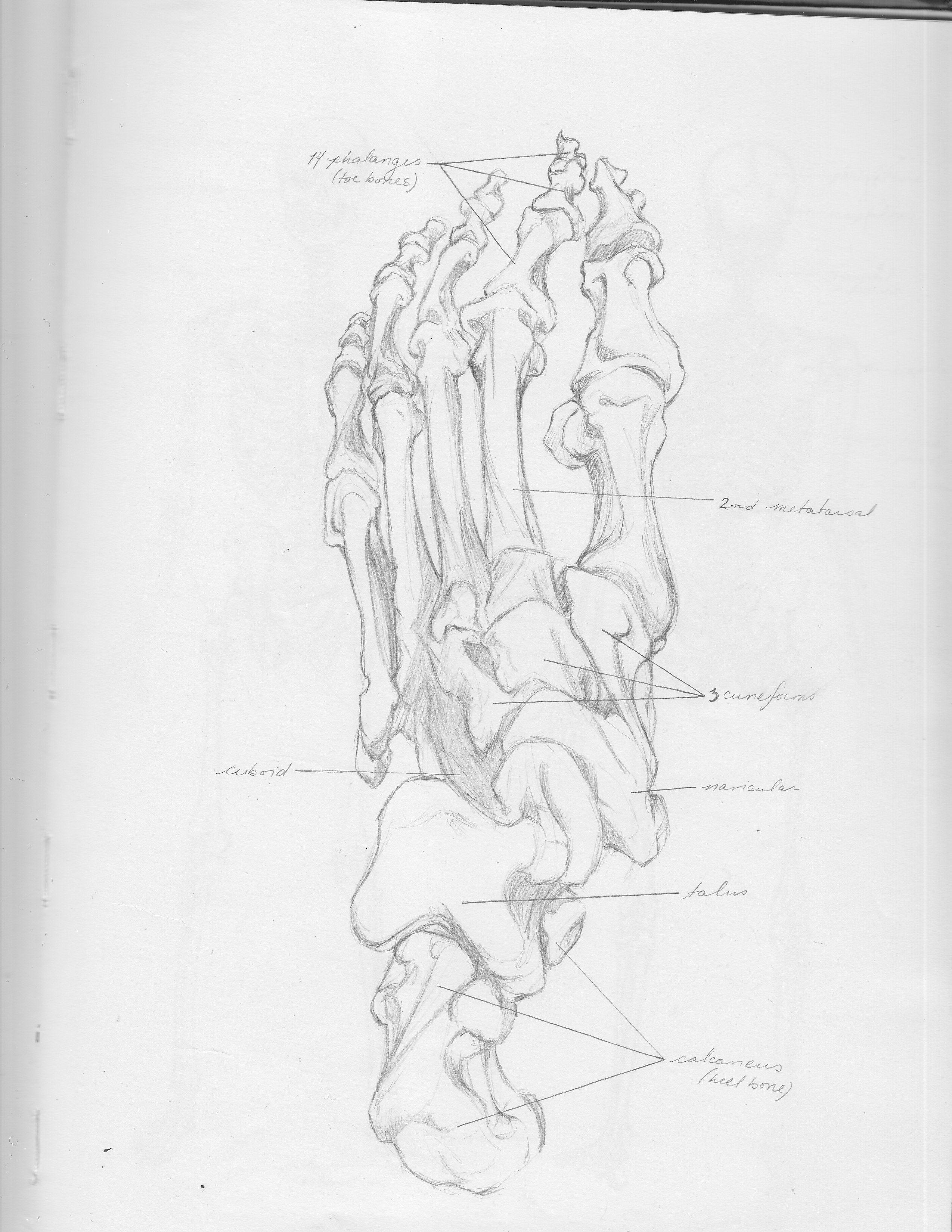 Foot bones top view   Anatomy  Pinterest  Anatomy