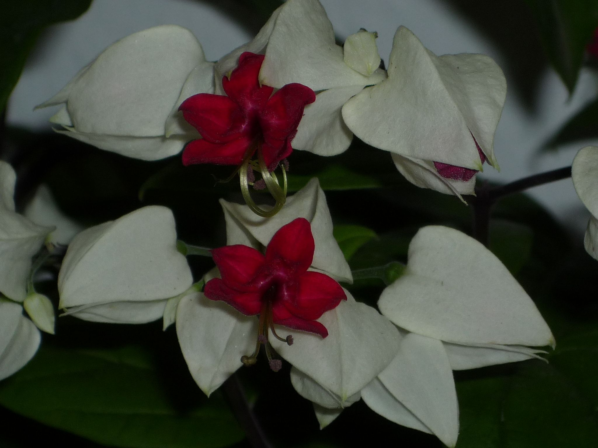 clerodendros