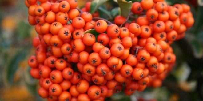 goji berry etkileri