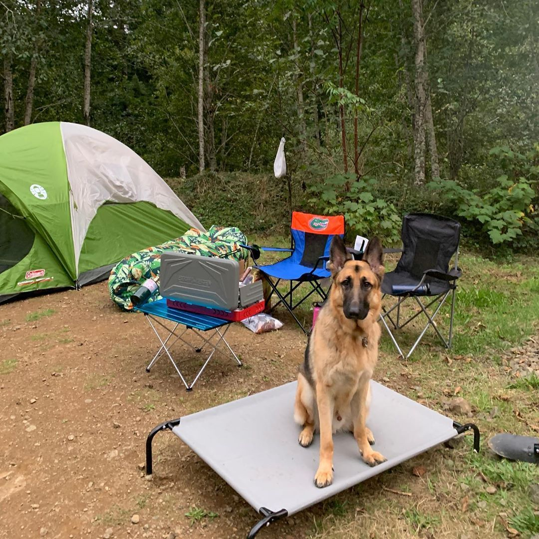 Rowen wasn't the biggest fan of camping but he sure is pretty. He was really just there for the ball playing 😂🐶🎾 . . . . . #camping #sunset #summer #pnw #oregon #forest #tents #puppy #dogsofig #gsd #bff #bestfriends #rowenstale #gsdofinstagram #germanshepherd #fetch #chuckit #gsdofig #dogs #ears #smores #vacation