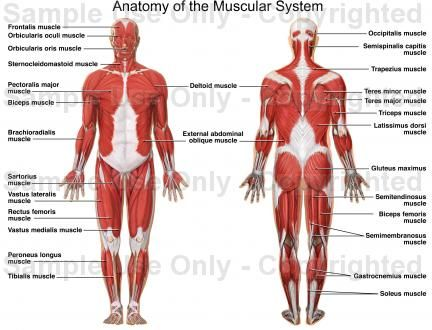 the muscular system is an organ system consisting of skeletal, Muscles