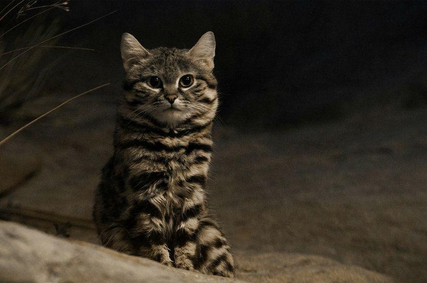 gato bravo de patas negras felis nigripes gatos los míos y