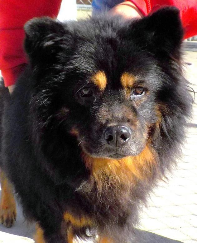 Adopt 09 Bandit Adopted On Adoptables Pinterest Chow Chow
