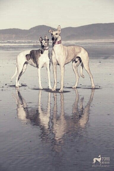 Greyhounds | At the beach