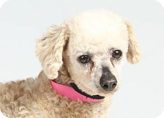 Miniature Poodle Dog For Adoption In Colorado Springs Colorado Patty Poodles For Adoption Poodle Pets