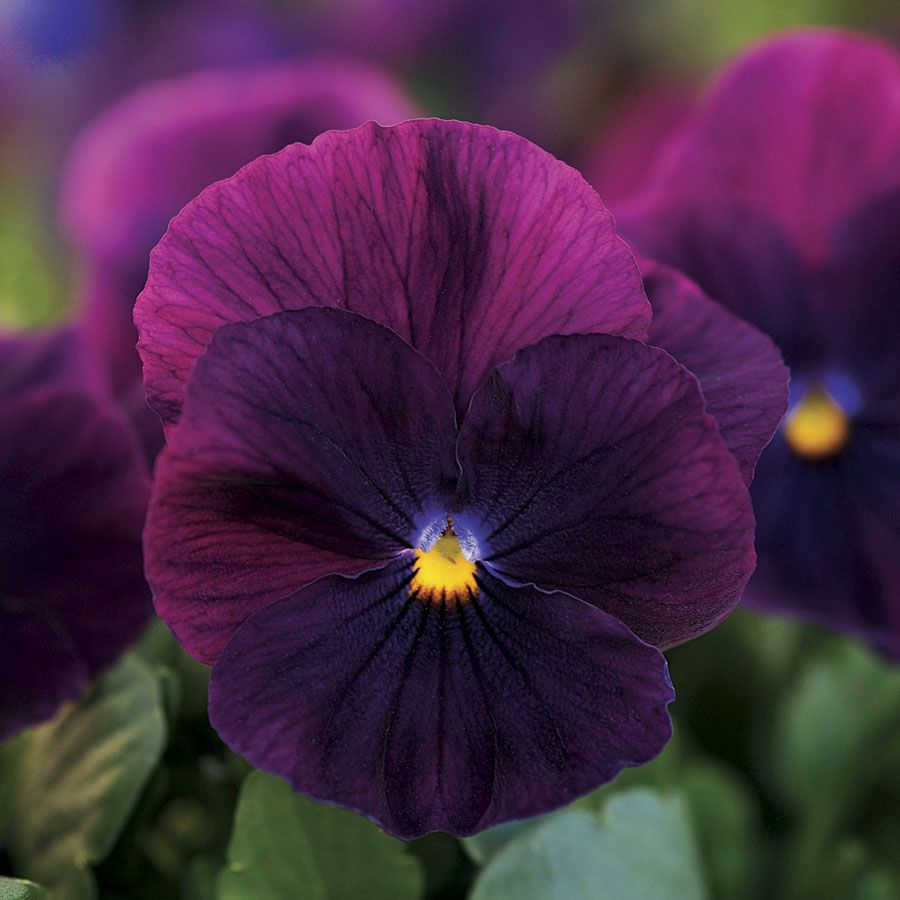 Cool Wave Purple Pansy Seeds Purple Plants Pansies Flowers Purple Garden
