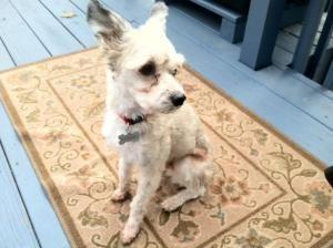 Adopt Mason On Chinese Crested Chinese Crested Dog Australian