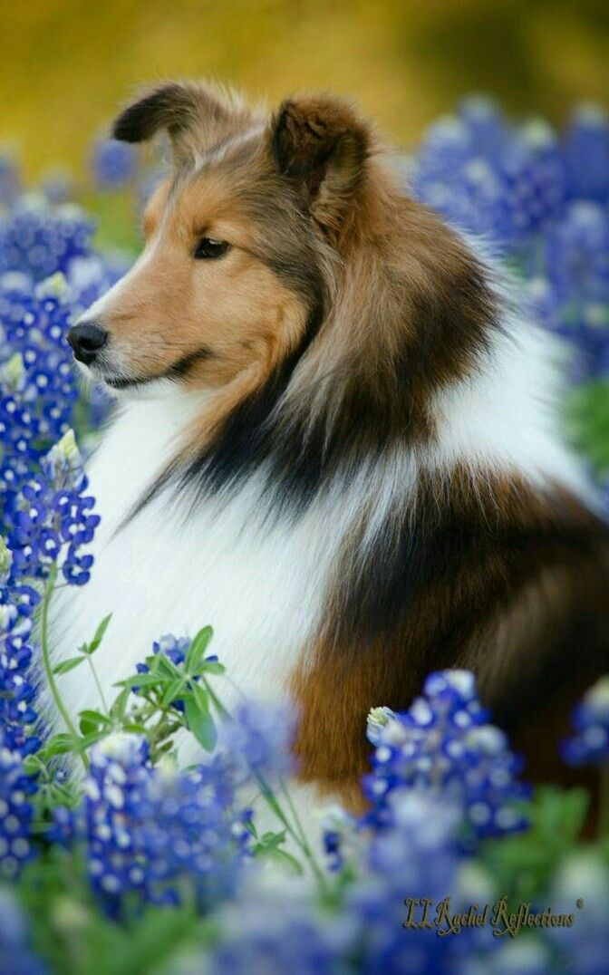 Pin On Sheltie Pups