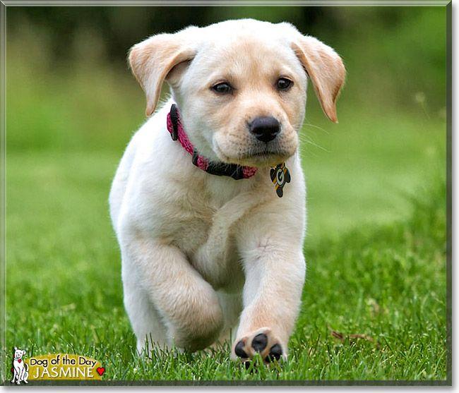 Jasmine The Dog Of The Day Yellow Labrador Retriever Labrador