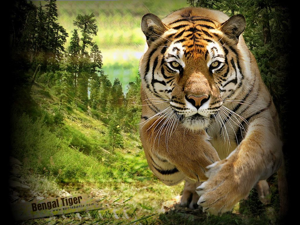 Wildlife Animals Tiger in jungle, animal, cat, tiger