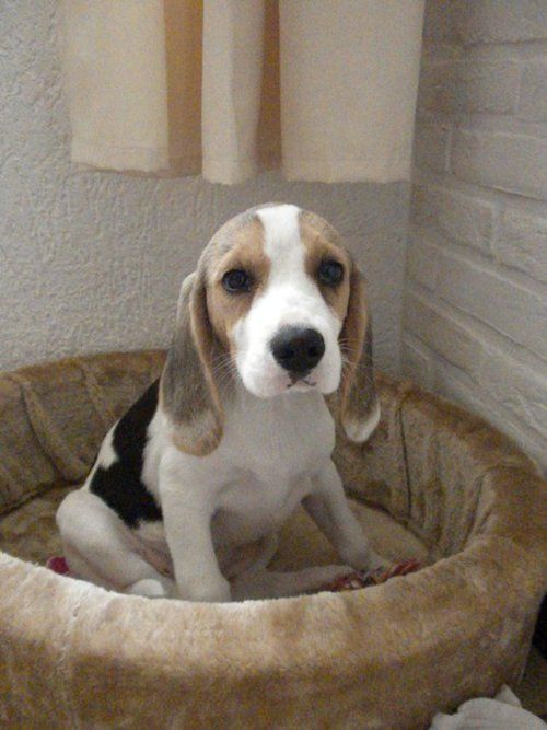 Does It Get Any Cuter Puppies Are From Heaven Beagle