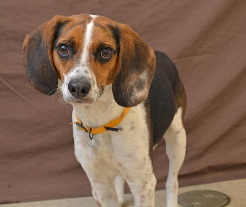 Meet Tommy 14514038 A Petfinder Adoptable Beagle Dog Hamilton