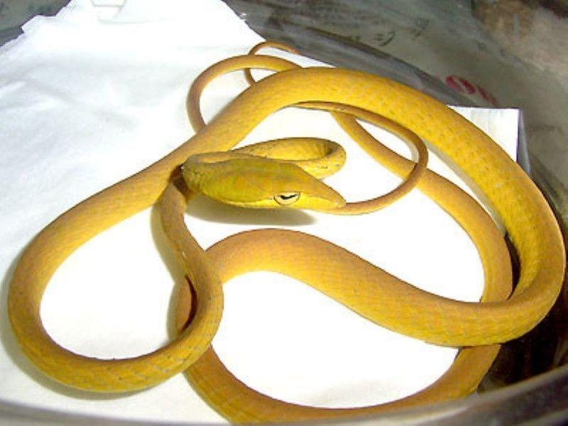 オオアオムチヘビ 爬虫類 ヘビの基本的な知識と飼育方法 ヘビ 爬虫類 両生類